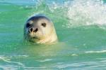 Средиземноморский тюлень-монах